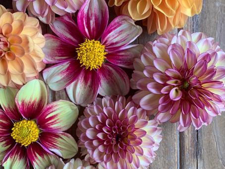Cultiver de superbes dahlias