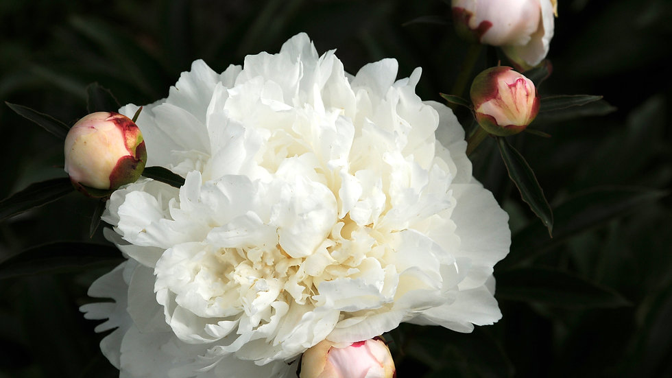 White Frost - Peony