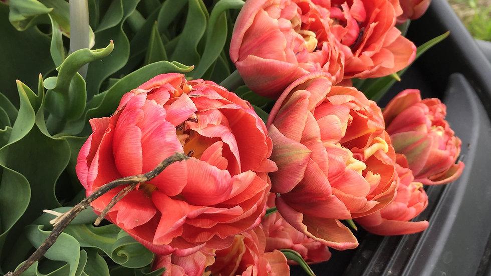 Tulip Club