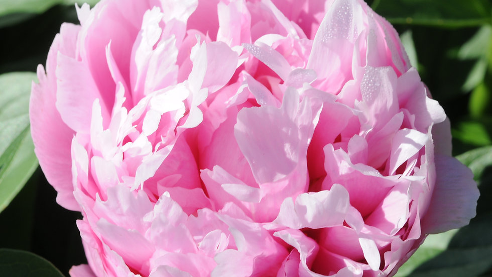 Kathy's Touch - Peony
