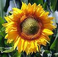 sun-flower-3540266_640_edited.jpg