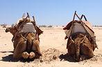 Essaouira Dromedaris