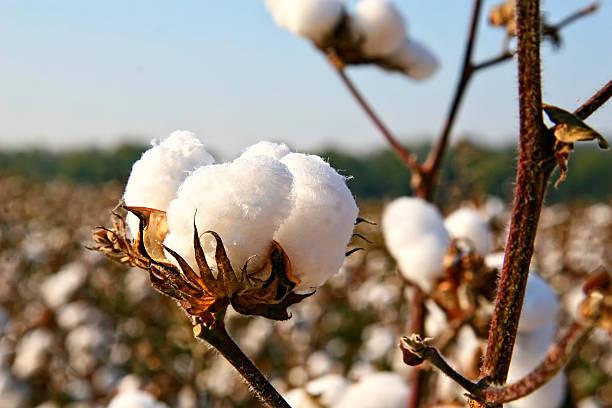 detalle de algodón orgánico,