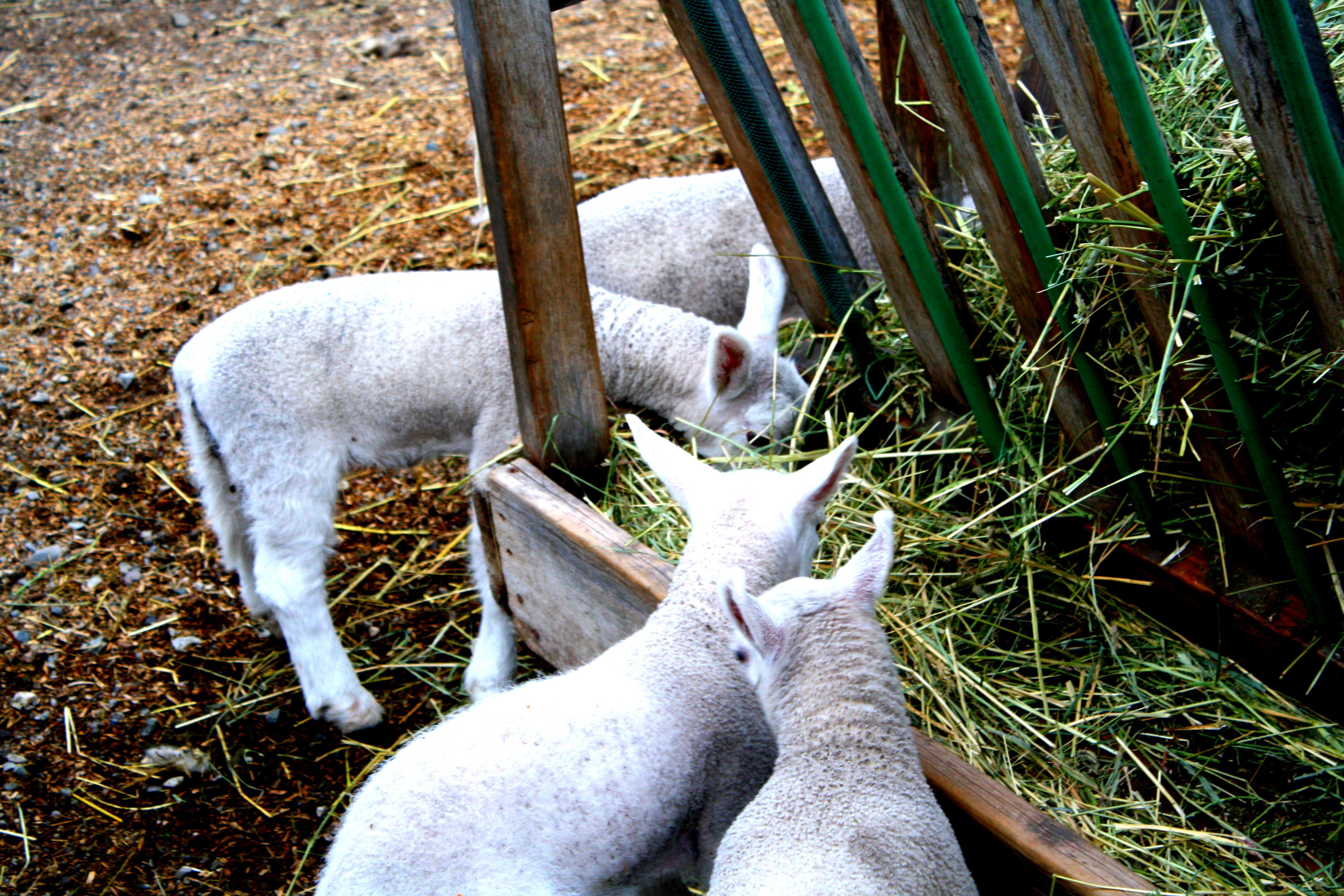 lamb 4.JPG