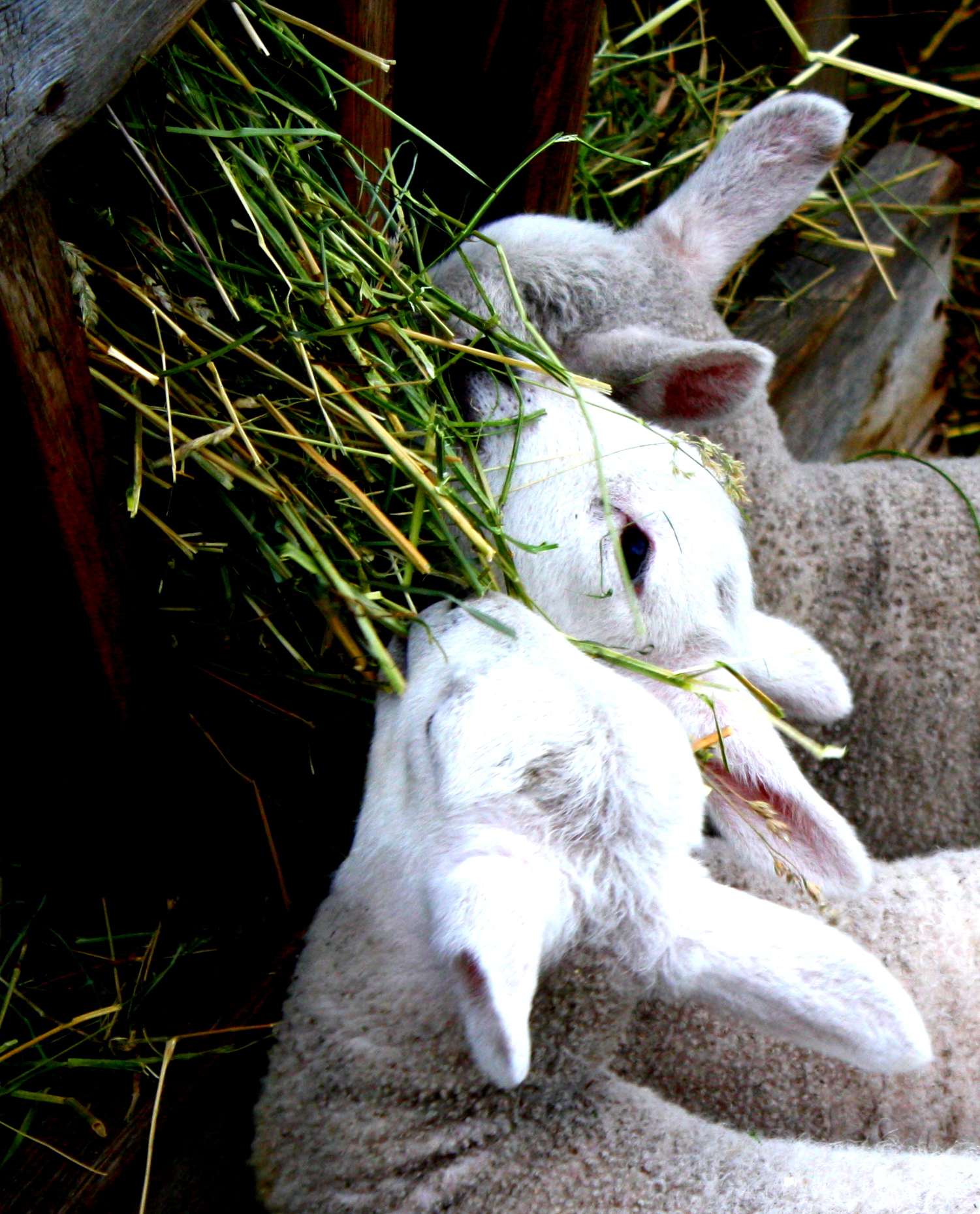 lamb 3.JPG