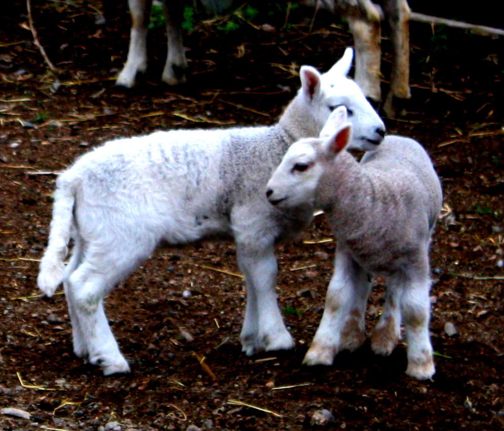lamb 5.JPG