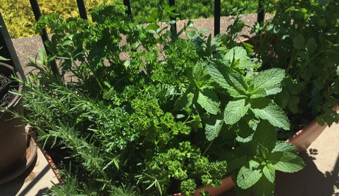 Several varieties of herbs growing in a large container.