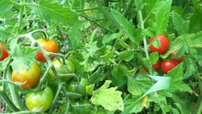 Gardening 101- Veggies and Herbs