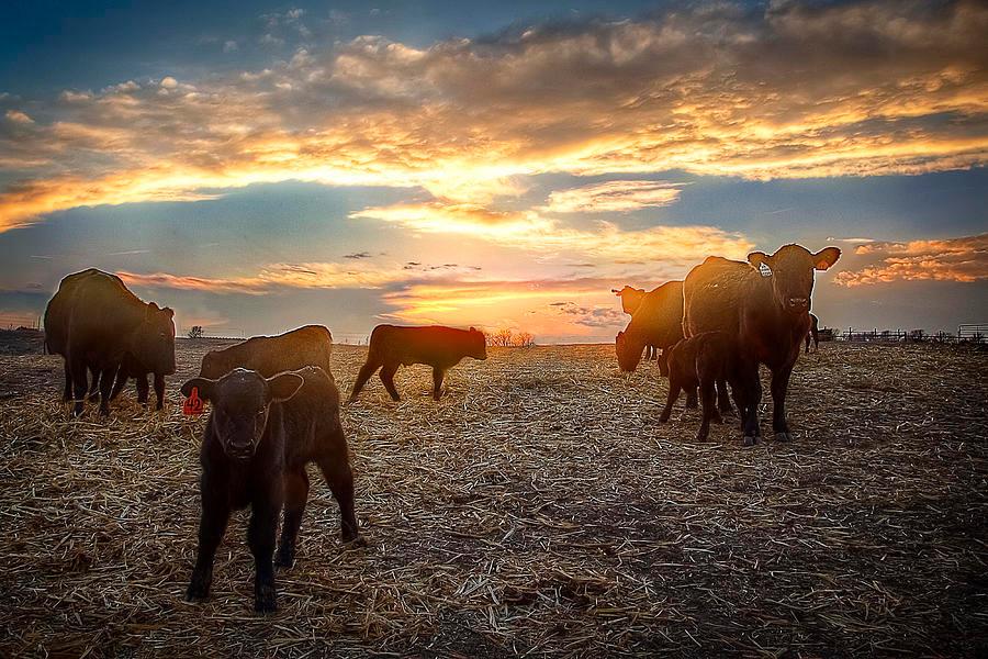 cattle sunset.jpg