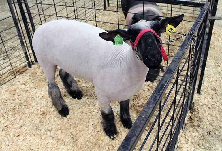 sheep at fair facing.jpg