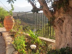 Olive tree and pithoi