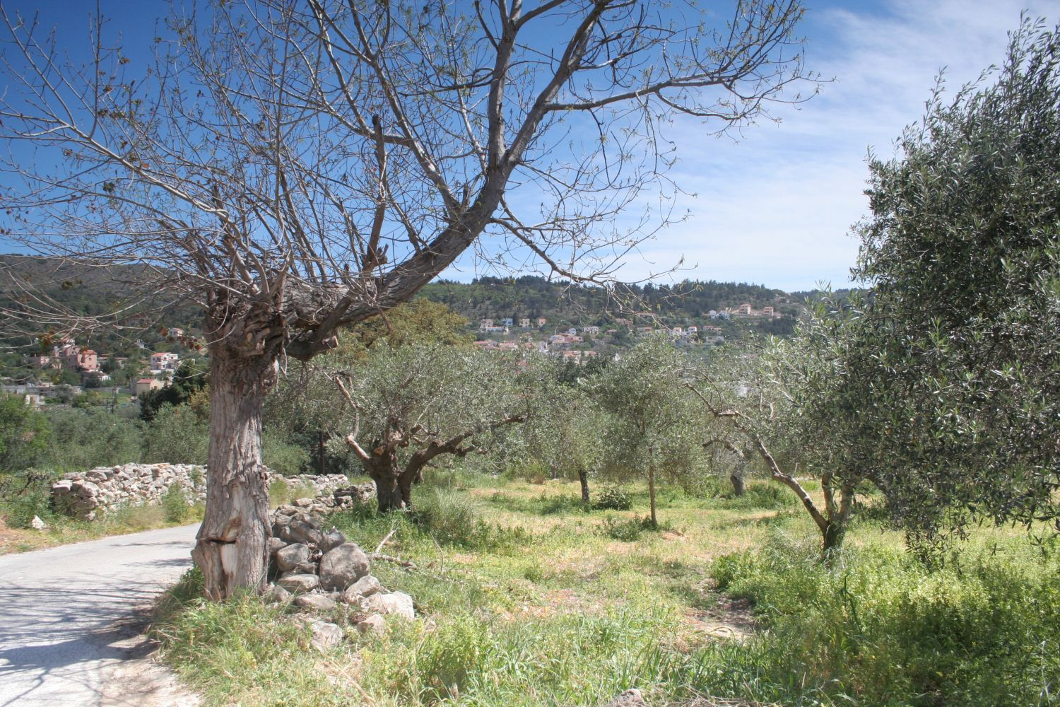 Olive groves below the villa