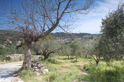 Olive groves below the villa