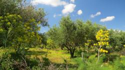Olive grove in spring