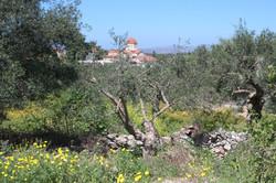 Village church through the olives