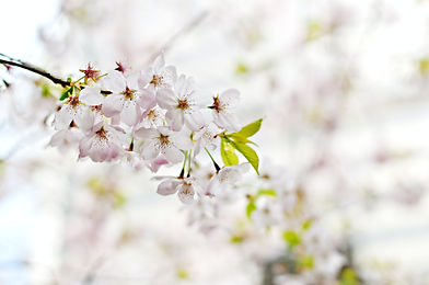 selective-photography-of-white-5-petaled