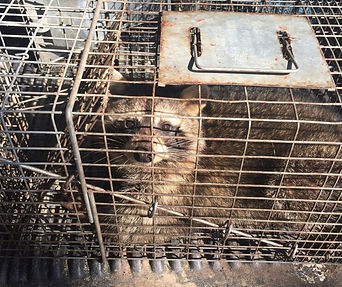 Trapped Raccoon Removal