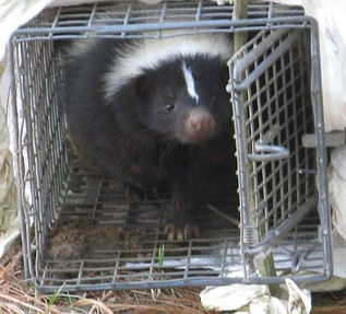 Trapped Skunk Removal