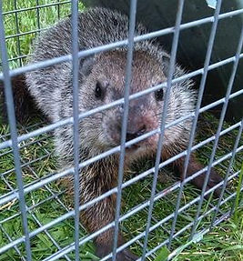 Trapped Groundhog Removal
