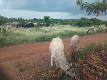 Cows Continue to Provide Needed Income