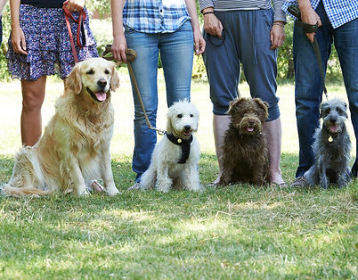 Adolescent Group dog training