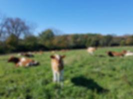 Cows on pasture with calf.jpg