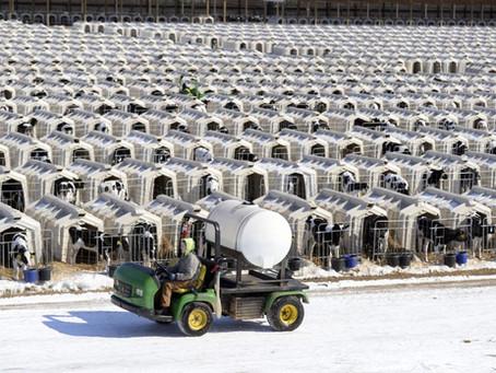 Calf Concentration Camps
