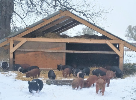 Farm Happenings, New Piggies, and Thanksgiving Pie Poll