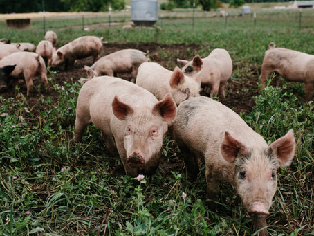 New Pigs, Corn Free/Soy Free Chickens, and New Farm Tours