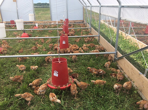 PASTURE-RAISED CHICKENS - ORGANIC FEED
