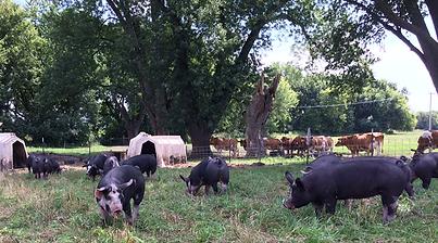 Berkshires on Brunner Pasture_edited.png