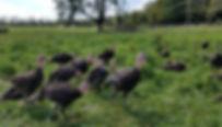 2018 Turkeys on Grass_edited.jpg