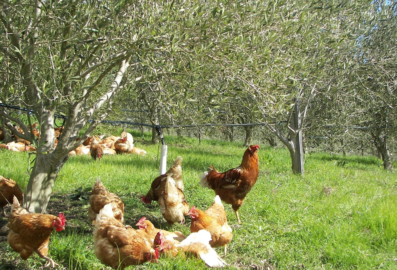 גידול משולב של תרנגולות וזיתים