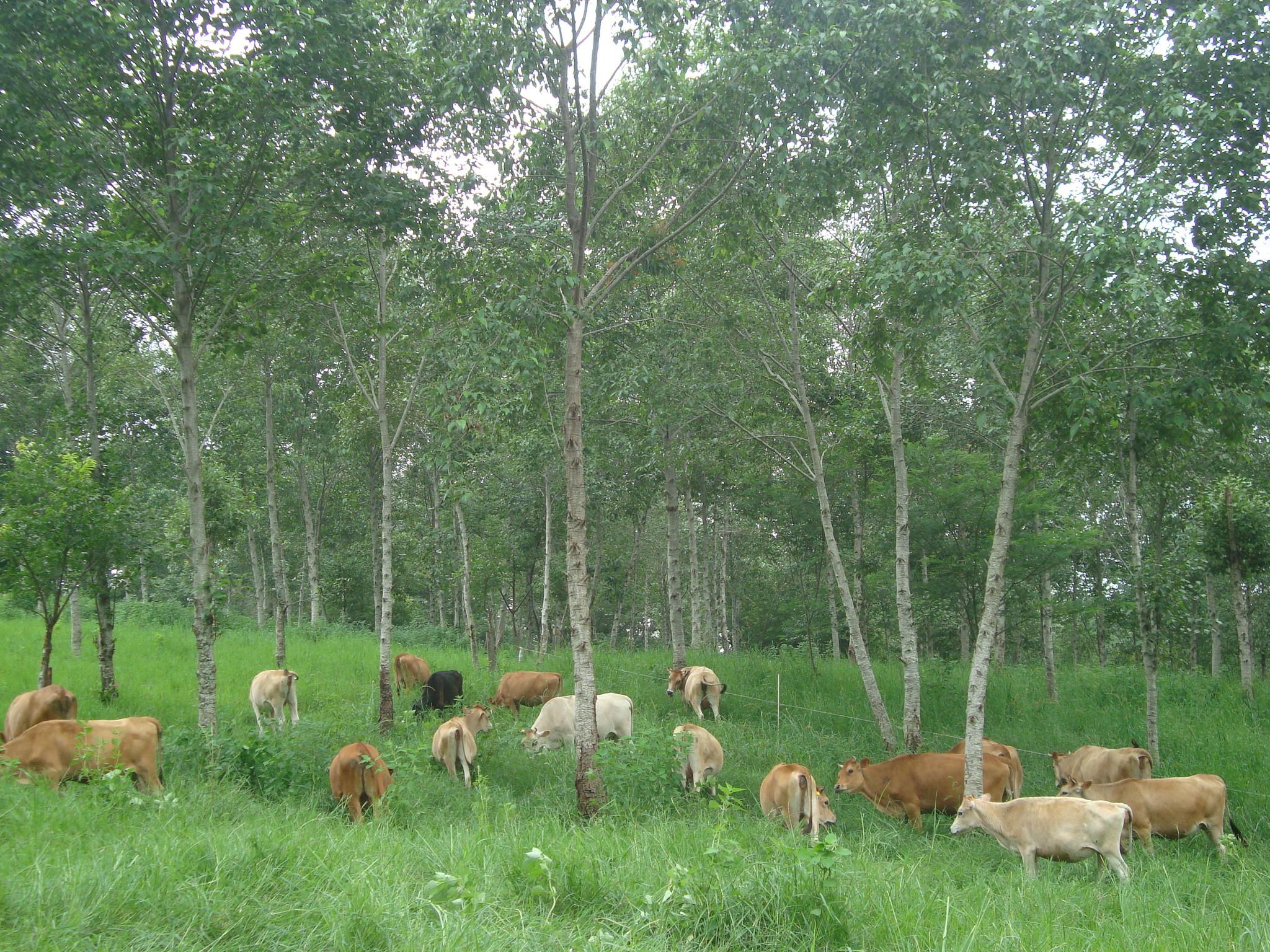 גידול משולב של בקר