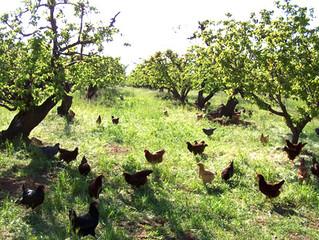 תרנגולות במרעה - בהדור הבא של ביצי חופש שילוב תרנגולות בחקלאות בת קיימא
