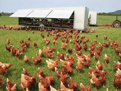 תרנגולות מרעה במטע מישמישים