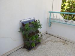 מחזור גידול שני על כיסשתיל במרפסת