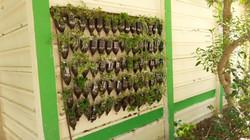 קיר ירוק אחרי שתילה בבית ספר מוסתקבל