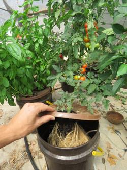 עגבניית שרי ובזיליקום