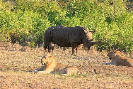 Rhino and lion Safari
