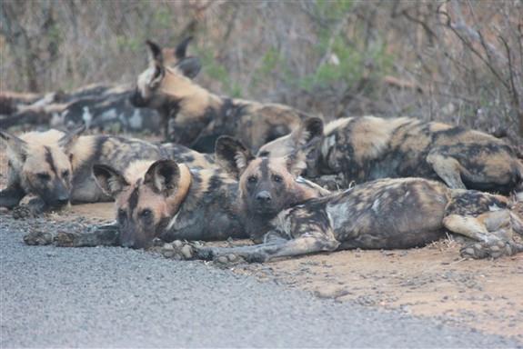 Wild dogs Safari