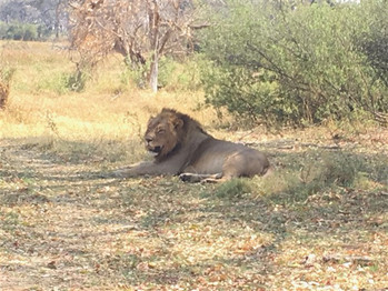 Lion Amakhosi Safari Park