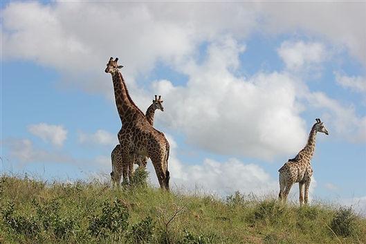 Giraffes safari