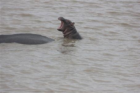 Baby Hippo Safari