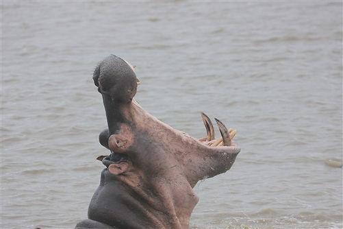 Hippo St Lucia Safari