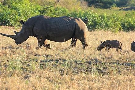 Rhino on Safari