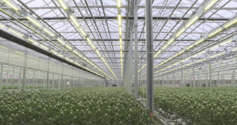 Cannabis company working on fix to 'skunk' odour coming from greenhouses