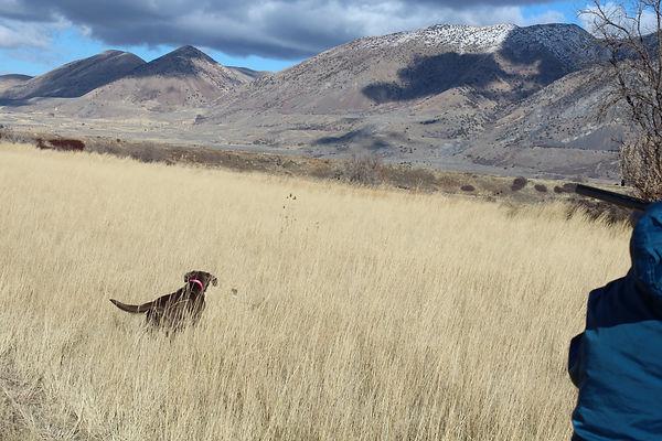 Hunting Labrador Retriever