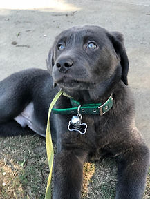 Charcoal Labrador Retriever