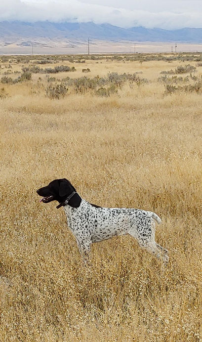 German Shorthaired Pointer Cleo